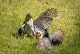 Dance of the Cooper's Hawks