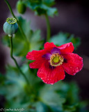 Poppy, after the rain