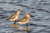 Black-bellied Plover.jpg