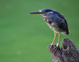 Cim MacDonaldLittle Blue Heron
