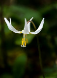 Fawn Lily - Valerie PayneCAPA Fall 2016 Nature