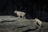 Gimlis Goats - Valerie PayneCAPA Fall 2016 Nature