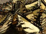 Flight of Swallowtails