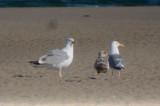 small mystery gull sandy point plum island