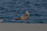1st yr LBBG sandy Point Plum Island