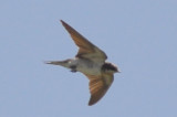 unusual plumage barn swallow typically barn swallows molt on wintering ground
