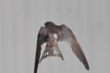 spring molting barn swallow