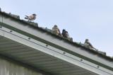3 imm spring molting + one light (sub?) adult barn swallows wardens plum island