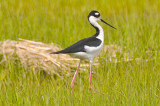 Black-necked Stilt Plum Island