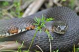 water snake great meadows