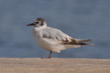 1st, heading into 2nd yr Little Gull Plum Isand