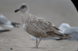 mystery_gull_or_is_it