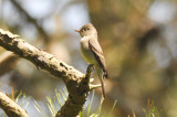mystery flycatcher plum island