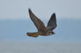 banded young peregrine, green leg band, could not read plum island