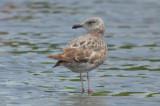 interesting herring gull