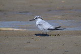 1st yr least tern sandy point plum island