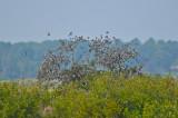 tree swallows sitting in tree plum island