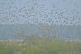 tree swallows take flight plum island