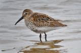 Dunlin, still in mostly juv plumage