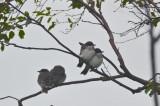family of eastern kingbirds plum island