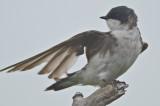 tree swallow Plum Island
