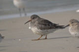 early purple sandpiper out of place on beach sandy point plum island