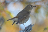 tried to make it not a hermit thrush with no luck plum island