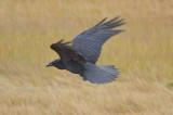 Raven plum island