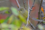 orange crowned warbler plum island