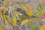 yellow palm waebler pi