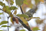 late blue-headed vireo plum island