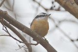 red breasted nuthatch pi