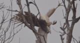 large accipiter plum islandr dodging sharp-shined attack