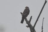 sharp-shined hawk lum island