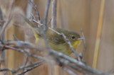 common yellowthroat plum island