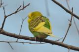 budgie  I'd sacrifice my life for freedom parakeet hunters conservation land tyngsboro