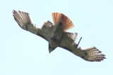 red-tailed hawk obviously torched by methane burner from a landfill ( newburyport ma)