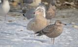 1st year glaucous gull (back) revere beach