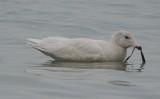 glaucous gull revere beach