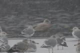 glaucous gull silver lake