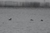 ruddy ducks silver lake