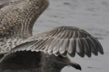 gull 2