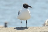 laughing gull lowell umass boat ramp