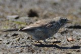 american pipit topsfield fair grounds bird record shot
