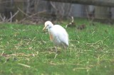 cattle egret, another poor record shot ipswich