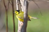 hooded warbler marblehead sanctuary