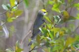 lawrence's warbler plum island