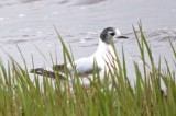 little gull ebird record shot - super cropped Joppa Park Newburyport