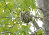 yellow throated vireo nest bolted flats