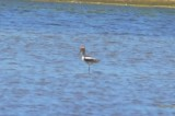 american avocet plum island distant record shot